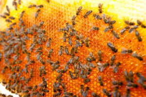 Bienenwabe in Hamburg